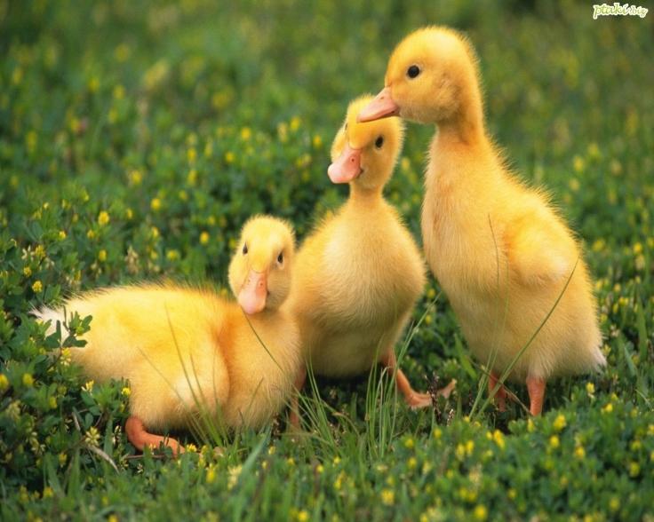 trzy-kaczuszki